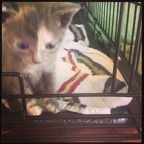 Need a Fureverhome Strays Kittens Calico