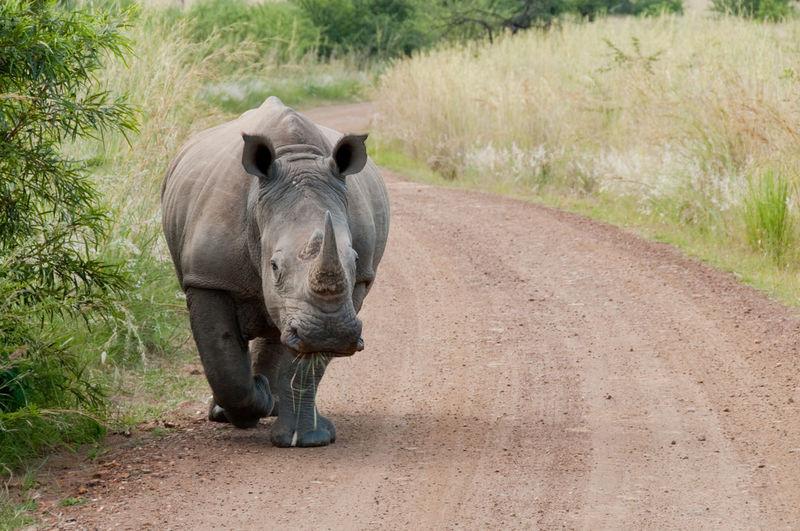 Animal Themes Animal Wildlife Animals In The Wild Day Mammal Nature No People Outdoors Rhino White Rhino