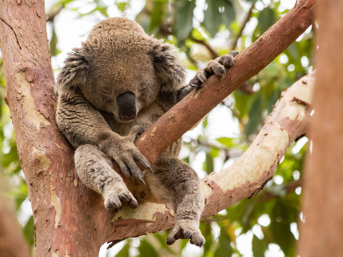 Tree Animal Wildlife Koala Animals In The Wild Mammal Branch Animal Animal Themes Plant Nature One Animal No People Day Relaxation Tree Trunk Focus On Foreground Low Angle View Trunk Outdoors Sleeping