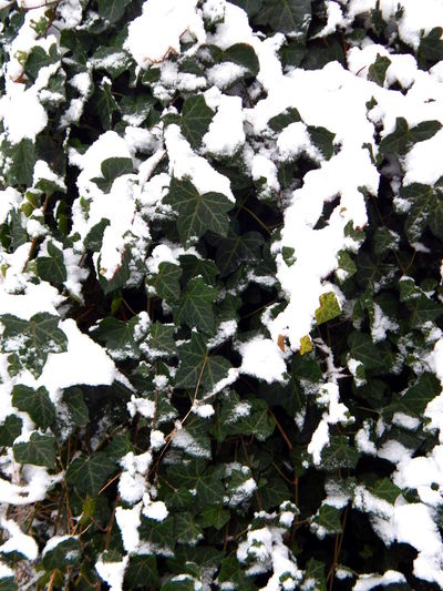 ice ivy Beauty In Nature Bush Close-up Cold Temperature Day February Freshness Green Growth Ice Ivy Ivy Leaves Ivy Wall Leaf Nature No People Outdoors Plant Portait Snow Snow Covered Tangled Washington State White Winter Shades Of Winter