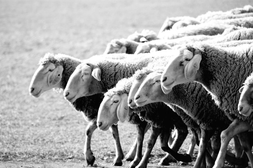 Sheep Sheep Head Flock Of Sheep Walking Sheep Animals Livestock Animals In The Wild Black And White Day Outdoors No People