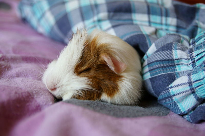 Close-up of guinea pig sleeping on bed