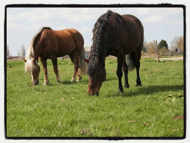 Horses Haflinger Haflo