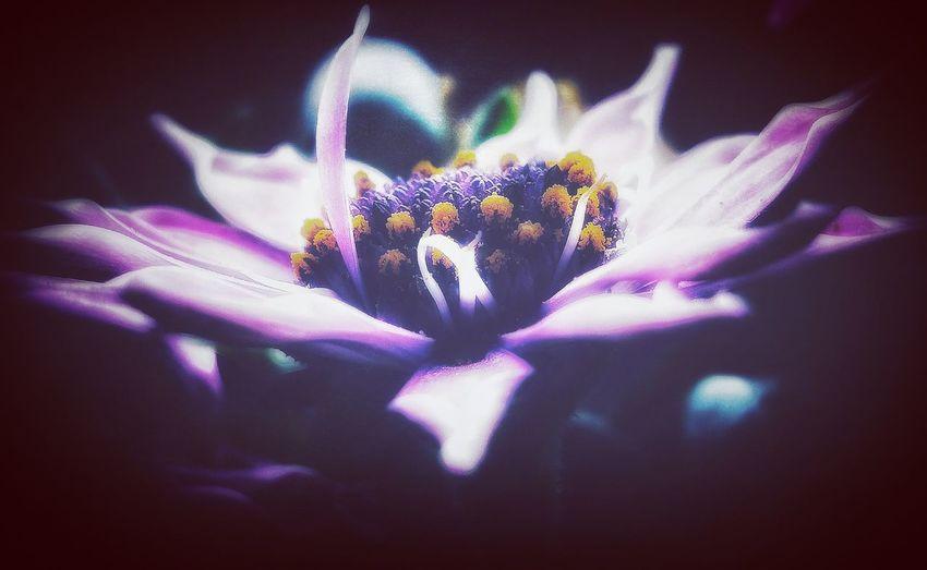 purple flower Osteospermum Macro_picture Macrophotography Flowerhead Macroperfection Macrocapture Macrocaptures Macrowolrd Macro_flower Huaweiphotography Topmacro Top_macro Flower Head Flower Petal Purple Blue Close-up