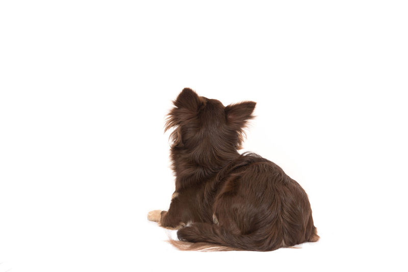 Pretty brown chihuahua adult dog lying down looking up seen from the back isolated on a white background Back Animal Animal Themes Chihuahua Dog Domestic Animals Looking Up Lying Down One Animal Pet Pets Seen From The Behind Studio Shot White Background