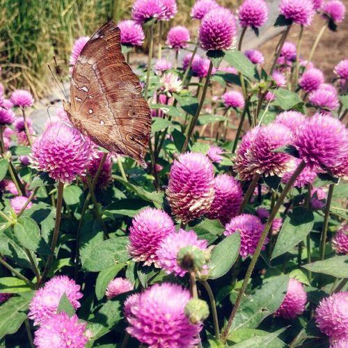 Butterfly pose! Kupukupu Kupu-kupu Kebunbunga Kebun Begonia Lembang