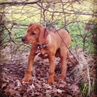 Ohana gefangen um Dornengestrüpp 😊 Rhodesianridgeback Hund Dog Welpen puppies puppy ohana rhodesian ridgeback picoftheday instadogs love sweet liondog löwenhund