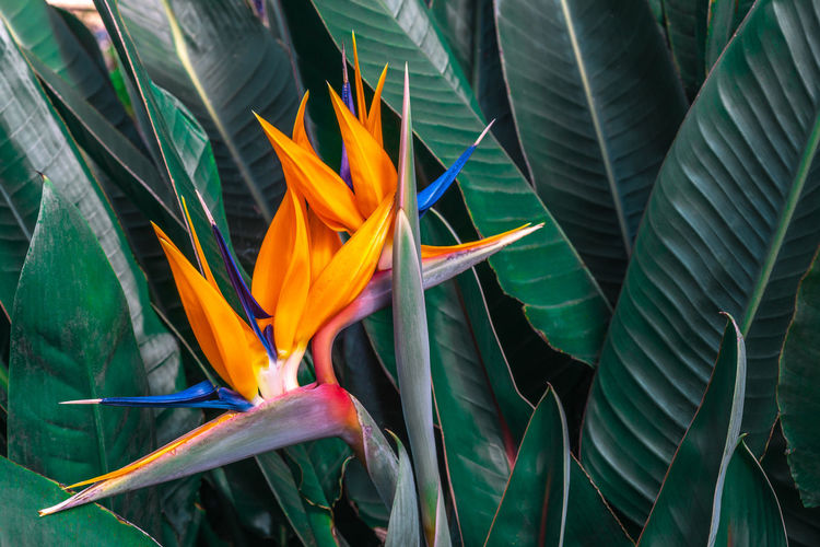 Beautiful Bird of Paradise flower (Strelitzia reginae) with green leaves background in tropical garden Plant Vulnerability  Flowering Plant Beauty In Nature Fragility Flower Growth Bird Of Paradise - Plant Freshness Petal Leaf Plant Part Close-up Flower Head Green Color Inflorescence Day Nature No People Outdoors Bird Of Paradise Strelitzia Reginae Green Color Colorful Leaves