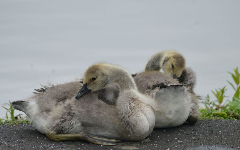 Close-Up Of Cygnets Resting On Riverbank