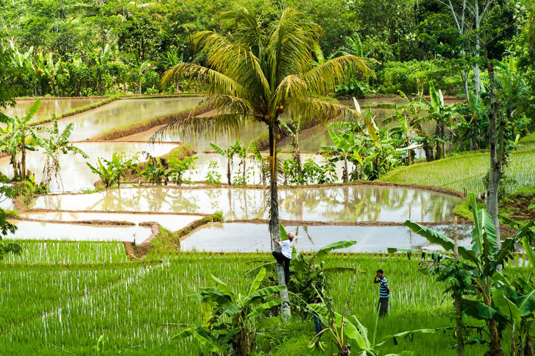 sundanese - WEST JAVA. https://youtu.be/IrS0qDnFhQU ASIA Agriculture Beautiful Nature Farm Field Green Color Nature Palm Tree Plant Rice Paddy Beauty In Nature Coconut Trees First Eyeem Photo Greenery Landscape Outdoors Rice Field Rice Plant Go Higher