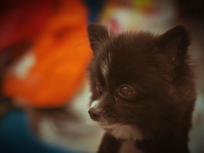 Pomeranian Domestic Animals Indoors  Pet Photography  Cute Dog  Pet Portraits