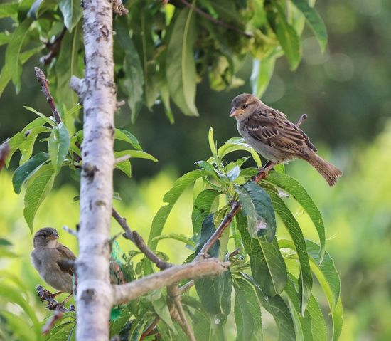 Animal Themes Animal Wildlife Animals In The Wild Beauty In Nature Bird Birds Branch Close-up Focus On Foreground Green Color Growth Leaf Nature No People One Animal Perching Sparrow Sparrow Bird Sparrow In A Tree Sparrow On A Branch Sparrow, Bird, Feathers, Tweet, Bush Branches, Brown, Sitting, Still, Sparrows Sparrows On A Branch Tree Wildlife