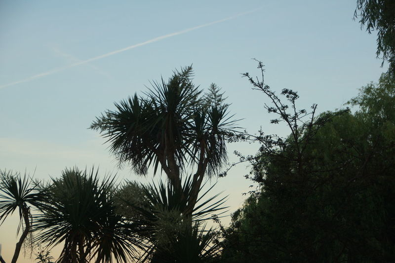 Beauty In Nature Branch Clear Sky Day Growth Low Angle View Nature No People Outdoors Palm Tree Scenics Sky Tranquil Scene Tranquility Tree Vapor Trail
