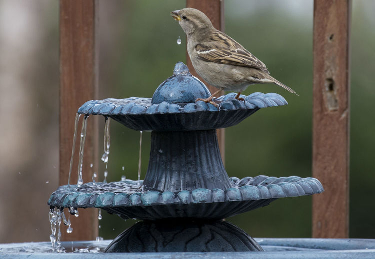 Close-Up Of Sparrow Drinking Water From Fountain