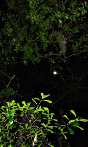 Looking thru the tops of trees, our Texas Moon, nighttime, no people, Cleveland Texas, Nature Leaf Outdoors Plant Tree No People Beauty In Nature