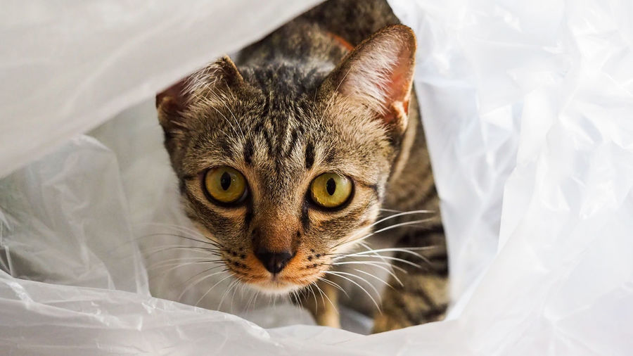 Lovely cat funny playing in plastic bag Cat Pets Animal Portrait Bed Furniture Domestic Indoors  Feline Plastic Bag Textile Close-up Mammal No People Looking At Camera Animal Head  Domestic Cat Whisker My Best Photo Animal Eye Animal Themes One Animal Domestic Animals Vertebrate Animal Head