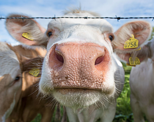 Close-up Cow Animal Head  Animal Themes Close-up Cow Domestic Animals Focus On Foreground Front View Intrusive Looking At Camera Mammal One Animal White White Cows Curious Nose