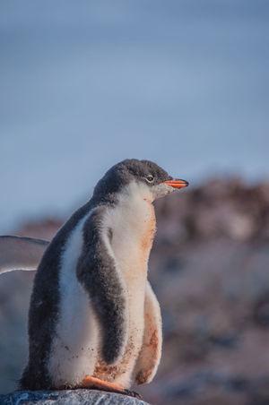 Iceberg Ice Ziwang Ziseetheworld Antarctic Peninsula Antarctica Gentoo  Gentoo Penguin Penguin Gentoo Penguin Chick Sea Penguin Chick Penguin Poo