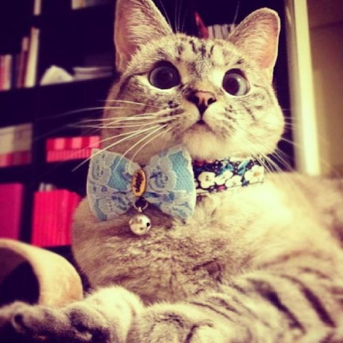 Look who is ready for his date. ?? Cat Bluebow Cute