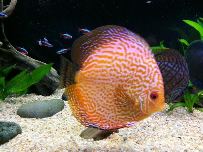 Aquarium Discus Discusfish