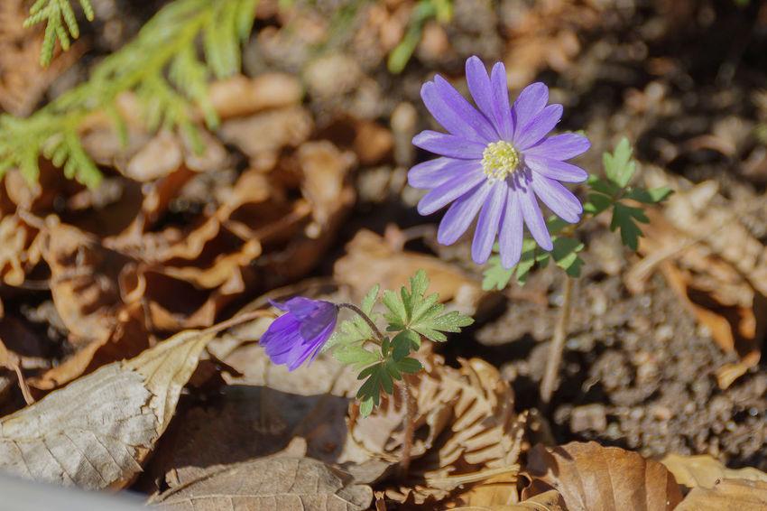 Balkan- Anemon Blue Flower Spring Flowers In My Garden