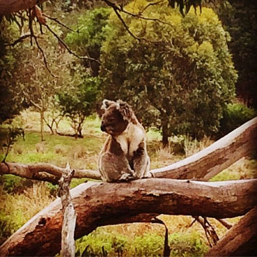 Tree Sitting One Animal Animal Themes No People Branch Nature Outdoors Day Australia Beauty In Nature