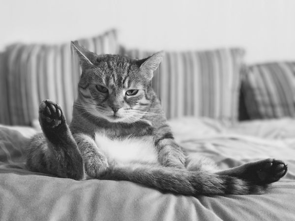 Domestic Cat Indoors  Pets Relaxation One Animal No People Looking At Camera Portrait