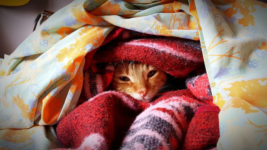 mon chat ce cache EyeEm Selects Pets One Animal Domestic Animals Indoors  Cute Hiding Wrapped Feline Domestic Cat Bed
