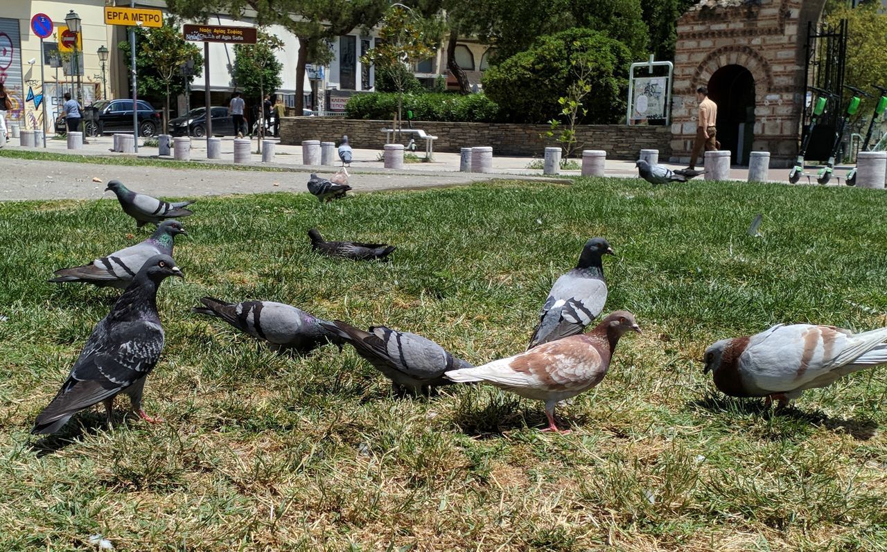 VIEW OF PIGEONS ON FIELD