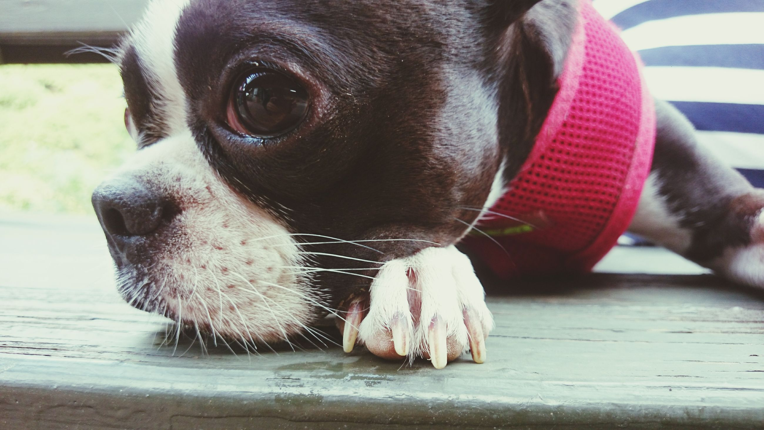 dog, domestic animals, one animal, animal themes, pets, mammal, animal head, close-up, animal body part, looking at camera, portrait, part of, pet collar, focus on foreground, day, canine, sitting, indoors, animal tongue