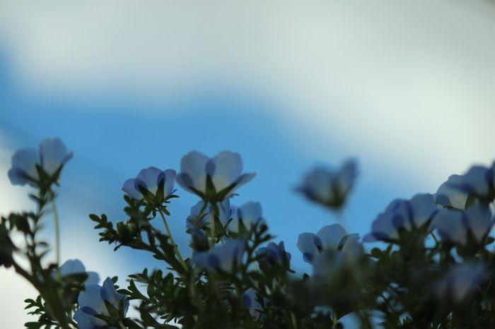 爽やかブルーのネモフィラFlower Nature Beauty In Nature Sky Blue Natural Parkland 花 花と庭 ガーデニング 桜が満開😊を横目にまずはガーデニング始動です💪