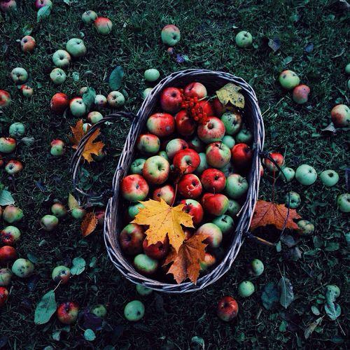 Осенний сбор яблок яблоки