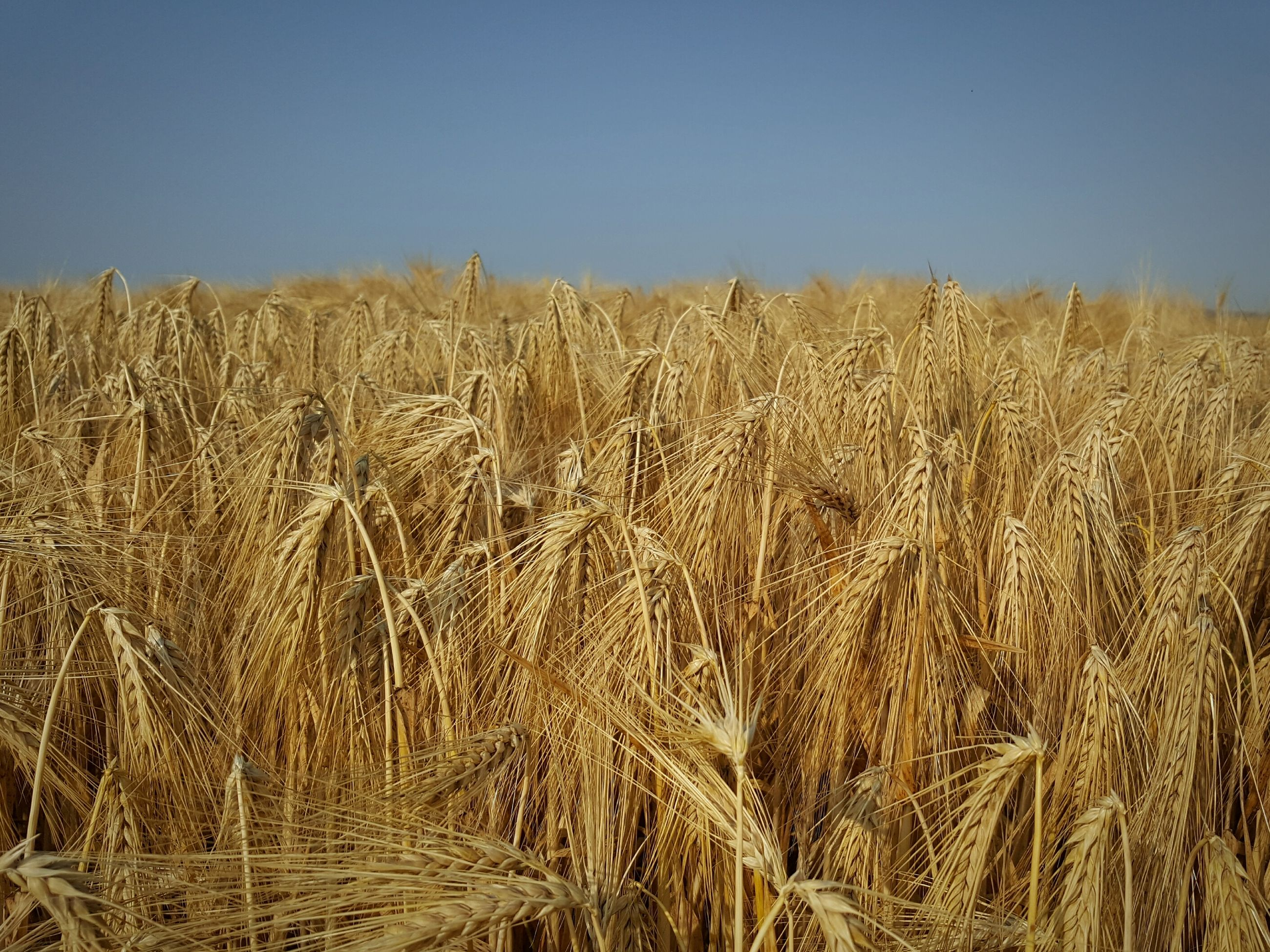 agriculture, field, farm, crop, growth, nature, cereal plant, tranquility, wheat, rural scene, tranquil scene, beauty in nature, landscape, clear sky, no people, ear of wheat, outdoors, plant, day, scenics, sky