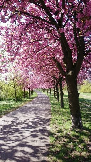 Tree Growth Nature Beauty In Nature Outdoors No People Branch Tranquility Cherry Blossoms Shadows Scenics Day Springtime Landscape Grass Flower Sky Freshness S
