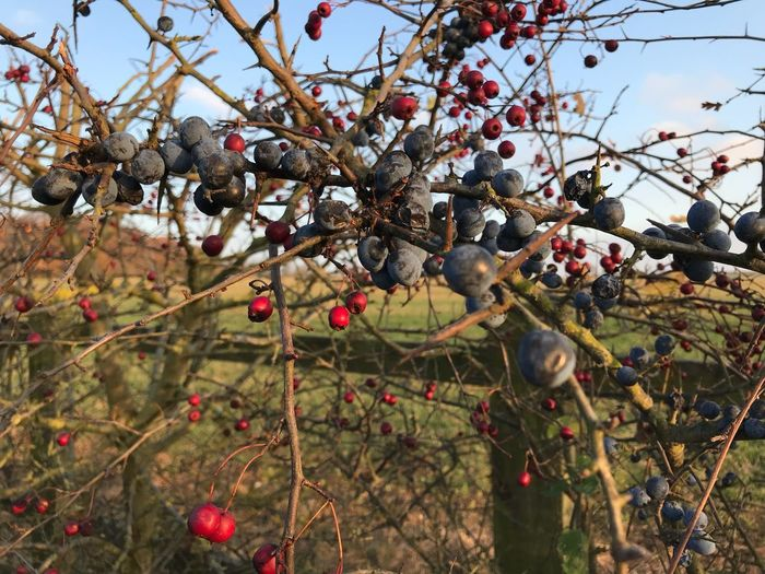 Sloe Berries Fruit Tree Plant Healthy Eating Branch Food Growth Nature Food And Drink Day No People Berry Fruit Freshness Sky Outdoors Beauty In Nature Sunlight Wellbeing