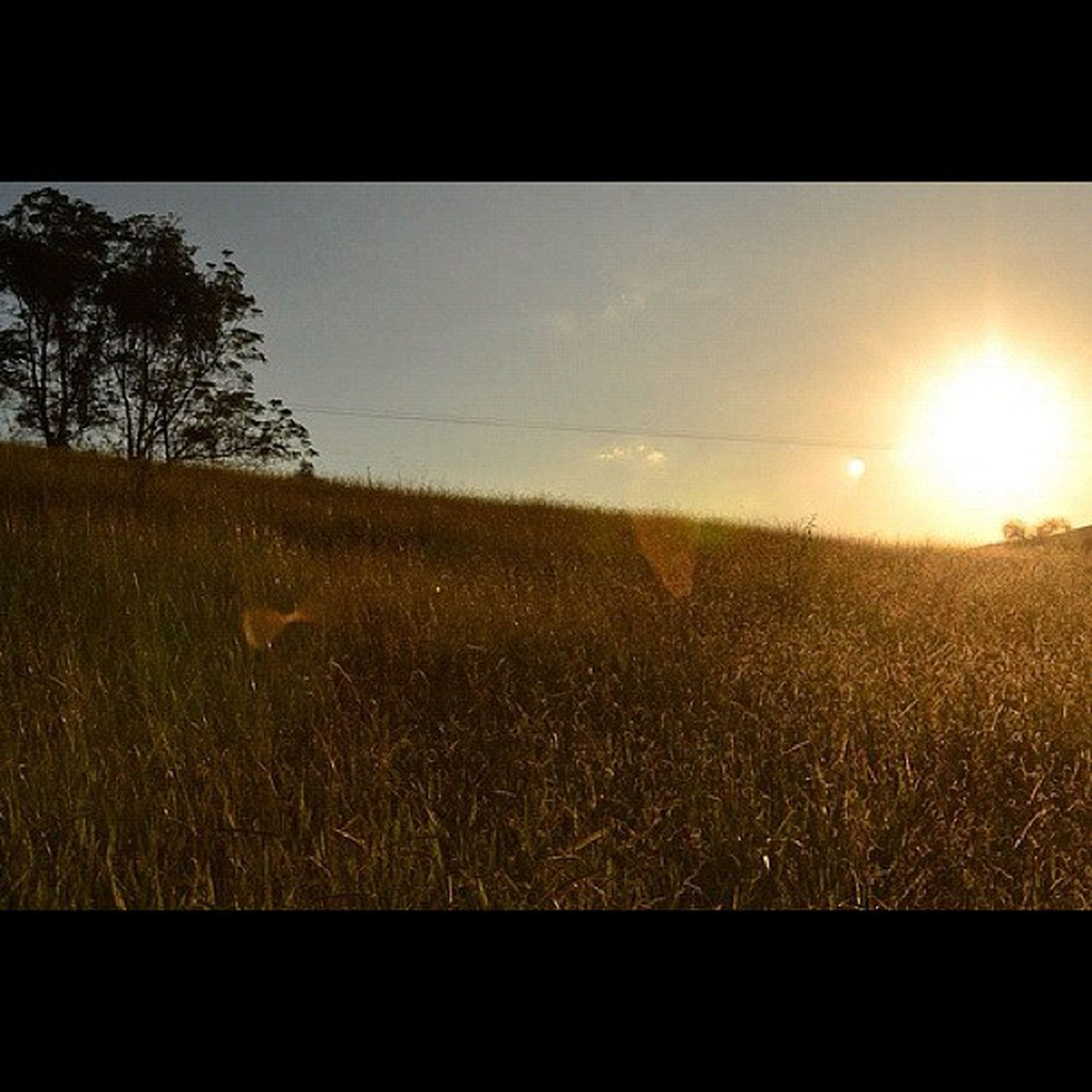 sun, grass, tranquil scene, field, tranquility, landscape, sunlight, beauty in nature, scenics, lens flare, sunbeam, sunset, nature, clear sky, transfer print, grassy, growth, auto post production filter, plant, sky