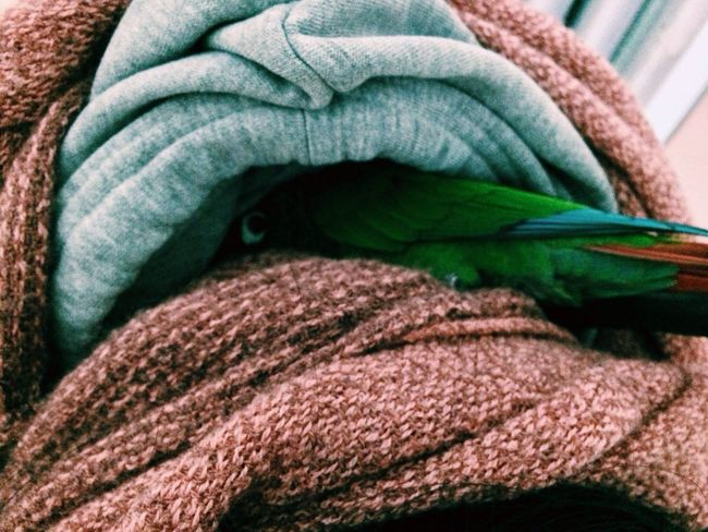 peanut hiding in my sisters sweater Animals Birds Conure Greencheekconure