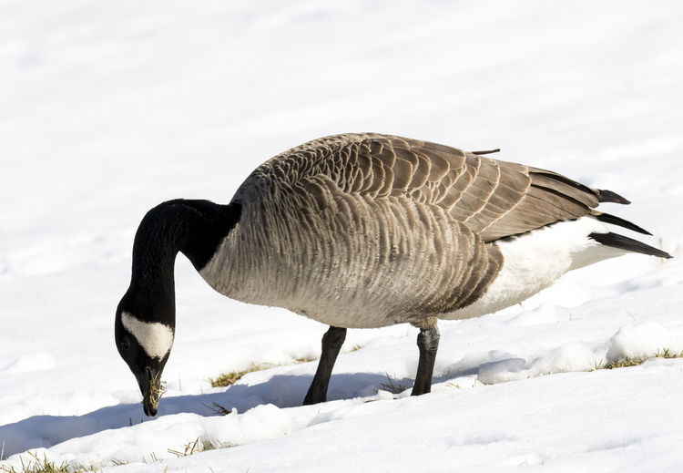 Foraging for food Bird Photography Animal Themes Animal Wildlife Animals In The Wild Beak Beauty In Nature Bird Bird Feeding Bird In The Snow Cold Temperature Goose Nature No People One Animal Outdoors Snow Winter