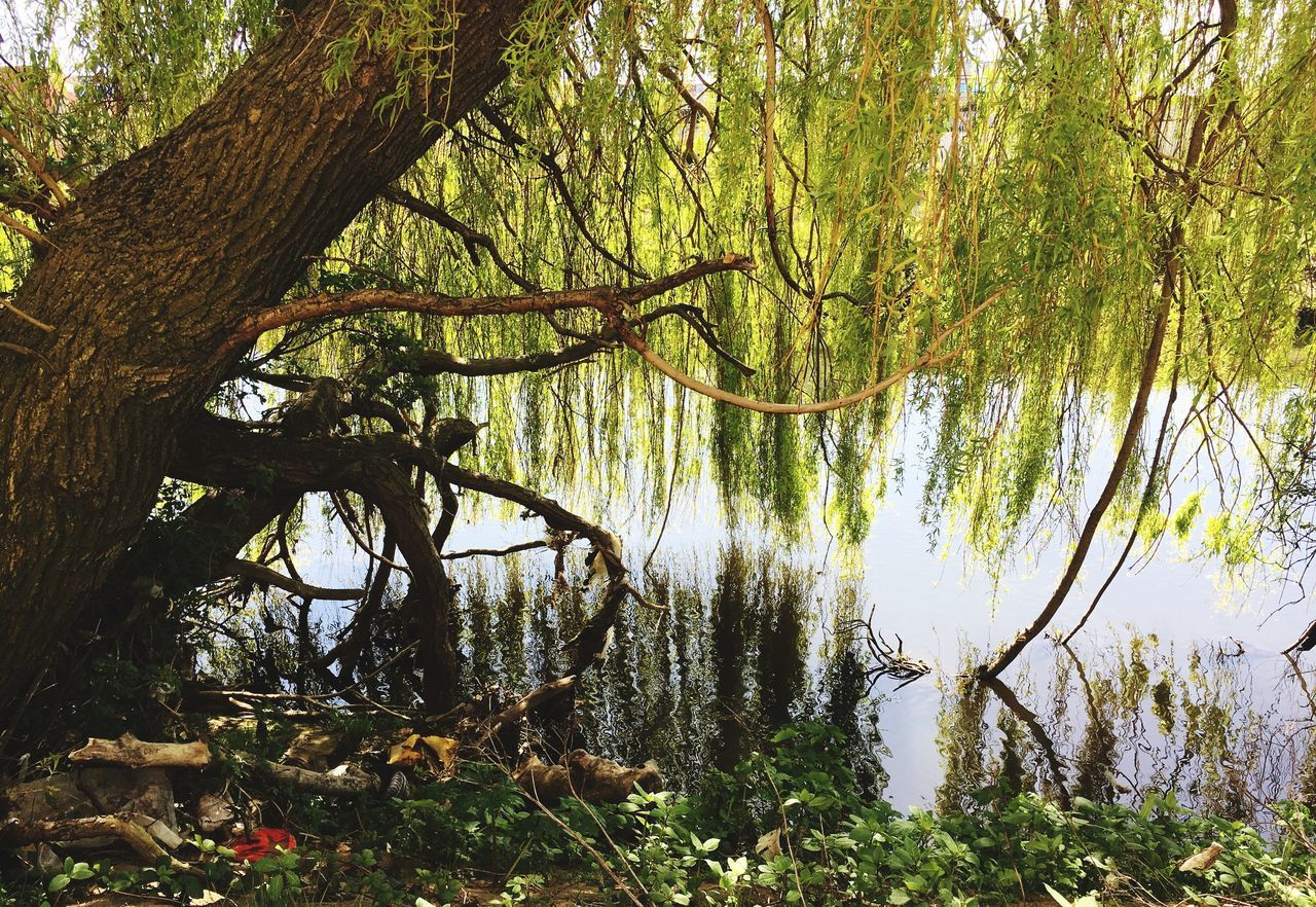 tree, nature, forest, tranquility, beauty in nature, growth, tranquil scene, tree trunk, branch, lake, scenics, outdoors, day, water, landscape, grass, no people