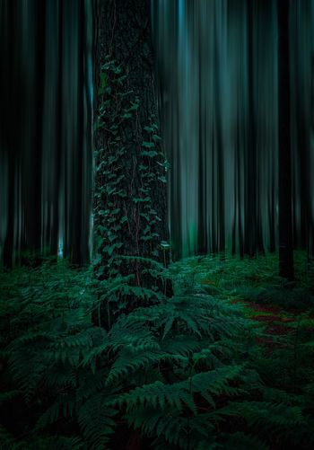 Pine trees in forest at night