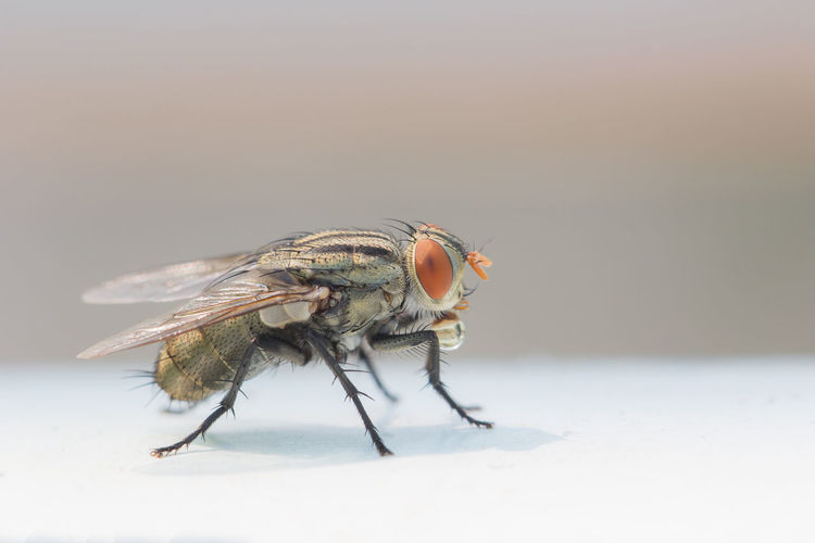 Close up House fly Flies Insect Macro Nature Animal Small Detail Wildlife Pest Bug Wing Fly Day Focus On Foreground Animal Themes One Animal Invertebrate Animals In The Wild Animal Wildlife Close-up No People Copy Space Animal Eye Housefly Selective Focus Animal Wing Full Length