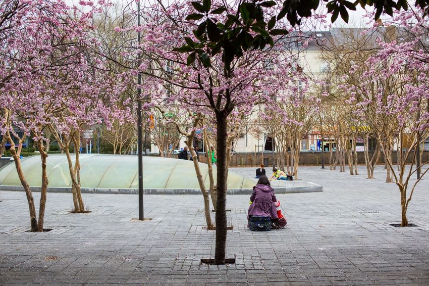 Branch Cherry Blossom Cherry Tree Day Footpath Growth Lifestyles Nature Outdoors Park - Man Made Space Pink Tree Treelined