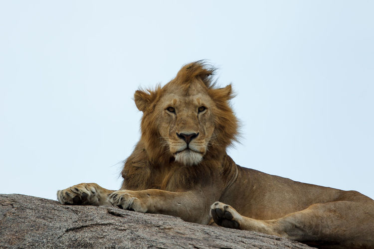 The East African lion is a Panthera leo melanochaita population in East Africa. During the 20th century, lion populations in this part of Africa became fragmented and declined in several range countries due to loss of habitat and prey base, poaching and killing of lions to protect livestock and human life. In 2005, a Lion Conservation Strategy was developed for East and Southern Africa. Today, lion populations are stable only in large protected area complexes Lion - Feline Feline Mammal Cat Animal Animal Themes Animal Wildlife One Animal Relaxation Animals In The Wild Vertebrate Carnivora No People African Lion Masai Serengeti National Park Panthera Leo Kopje Safari Wildlife Wild Nature King Of The Jungle East African Lion