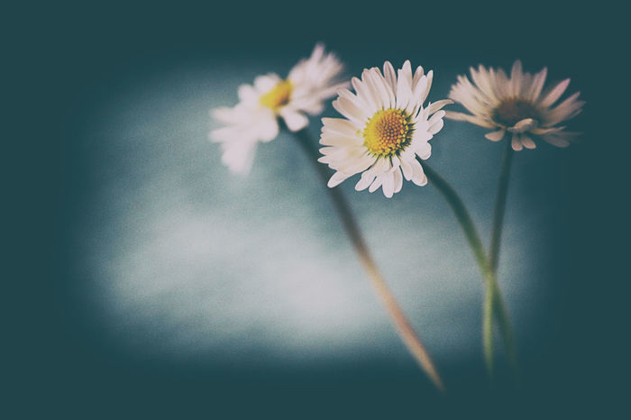 Daisy's flower Daisy Beauty In Nature Blooming Flower Flower Head Fragility Freshness Nature No People Petal Studio Shot