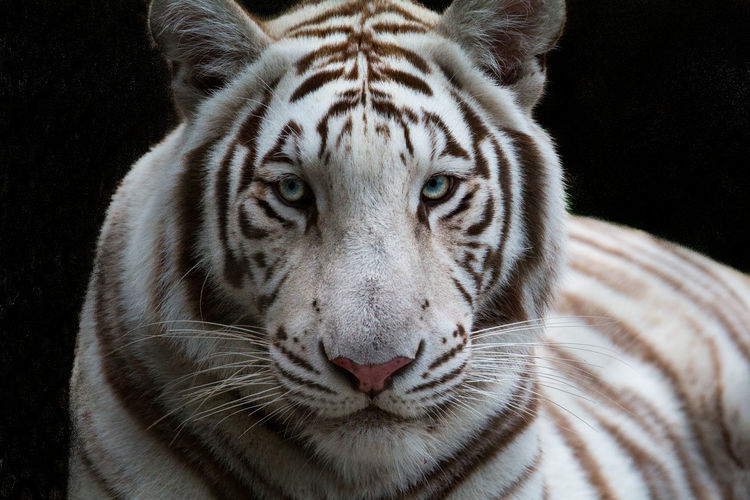 Close-up portrait of white tiger
