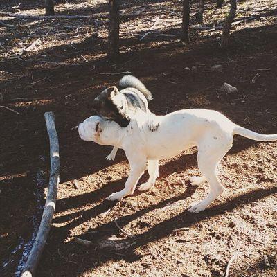 Puppy Dogoargentino Kishuken