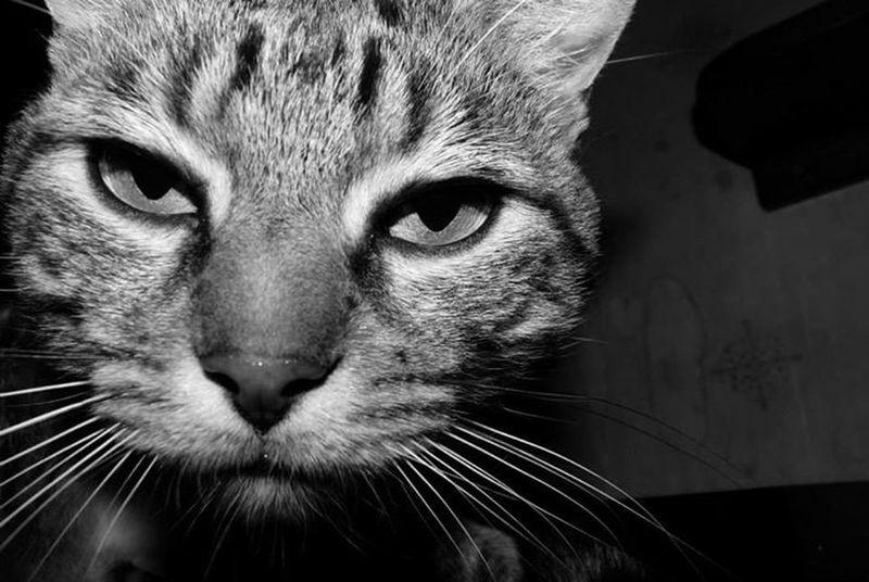 Tigrou Cats 🐱 Chat
