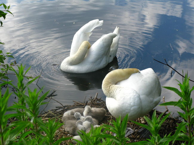 Animal Animal Family Animal Wildlife Bird Cygnet Day Group Of Animals Hampstead Heath Ponds Hiding From The World Lake Nature No People Outdoors Plant Swan Vertebrate Water Water Bird White Color Young Animal Young Bird