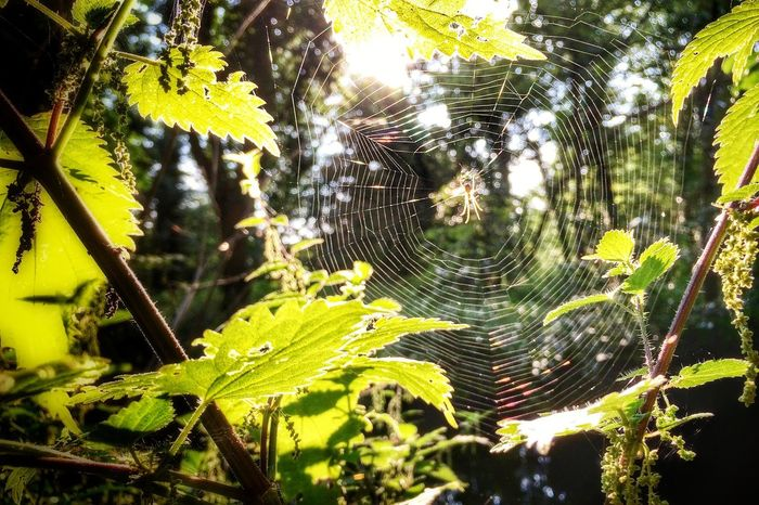 Another cobweb pic I'm afraid but it's hard when you walk the same route everyday. Spider Cobweb Nature Nature_collection