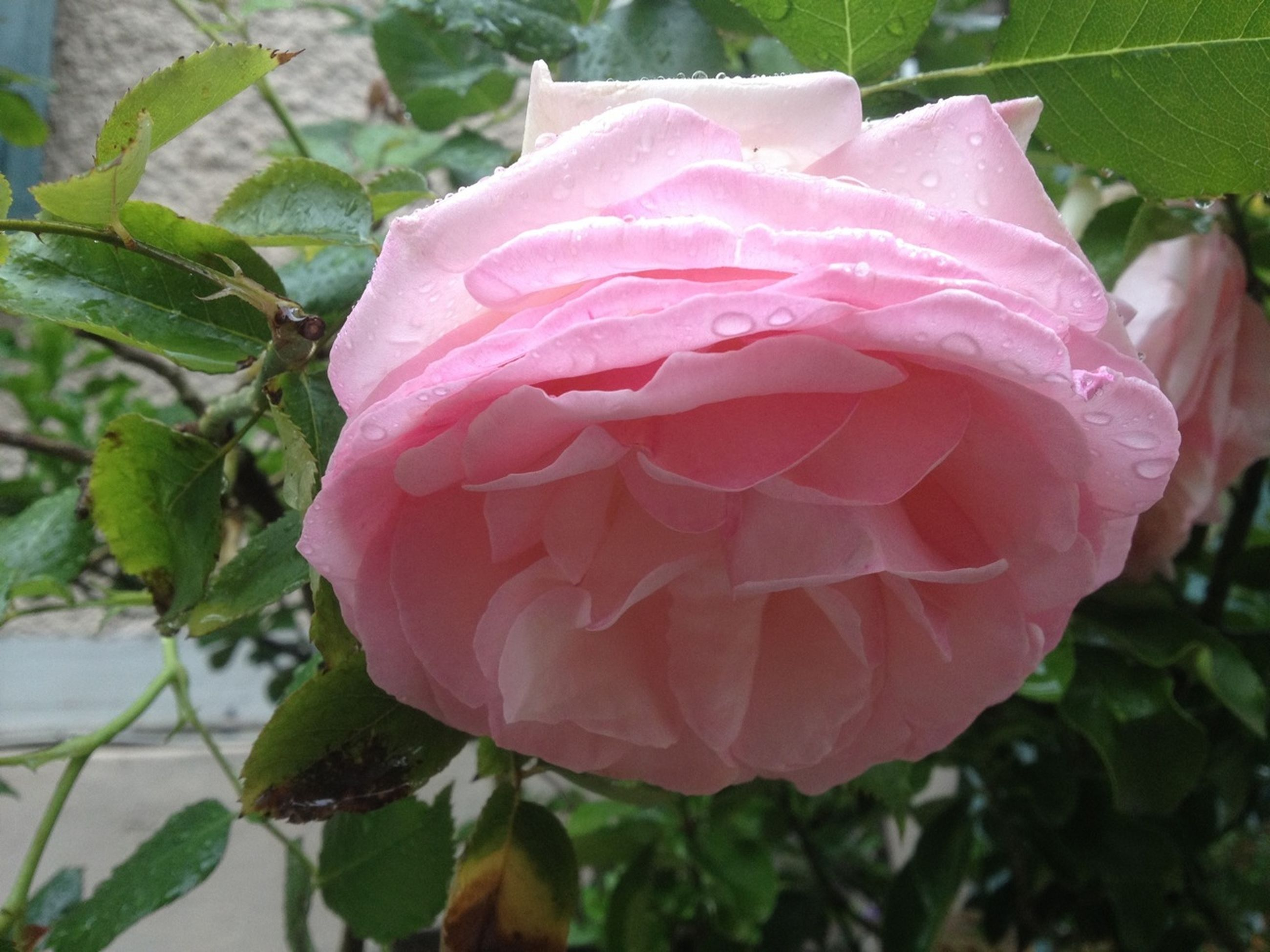 flower, petal, freshness, fragility, flower head, rose - flower, beauty in nature, growth, close-up, single flower, pink color, blooming, leaf, rose, nature, plant, water, drop, focus on foreground, wet